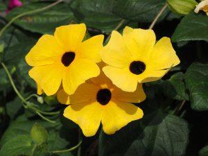 Schwarzäugige Susanne Balkonblumen Hängepflanzen Beschattung Balkonkistchen Wohnung Ranken Blüten