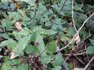 Nelkenwurz Heilpflanze Heilkräuter Eugenol Tee Likör Gewürz sammeln