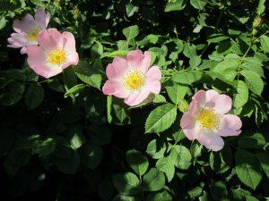 Hunds-Rose Wildrose Obst Garten Strauch Hecke Ausläufer