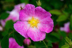 Essig-Rose Wildrose Obst Garten Strauch Hecke Ausläufer