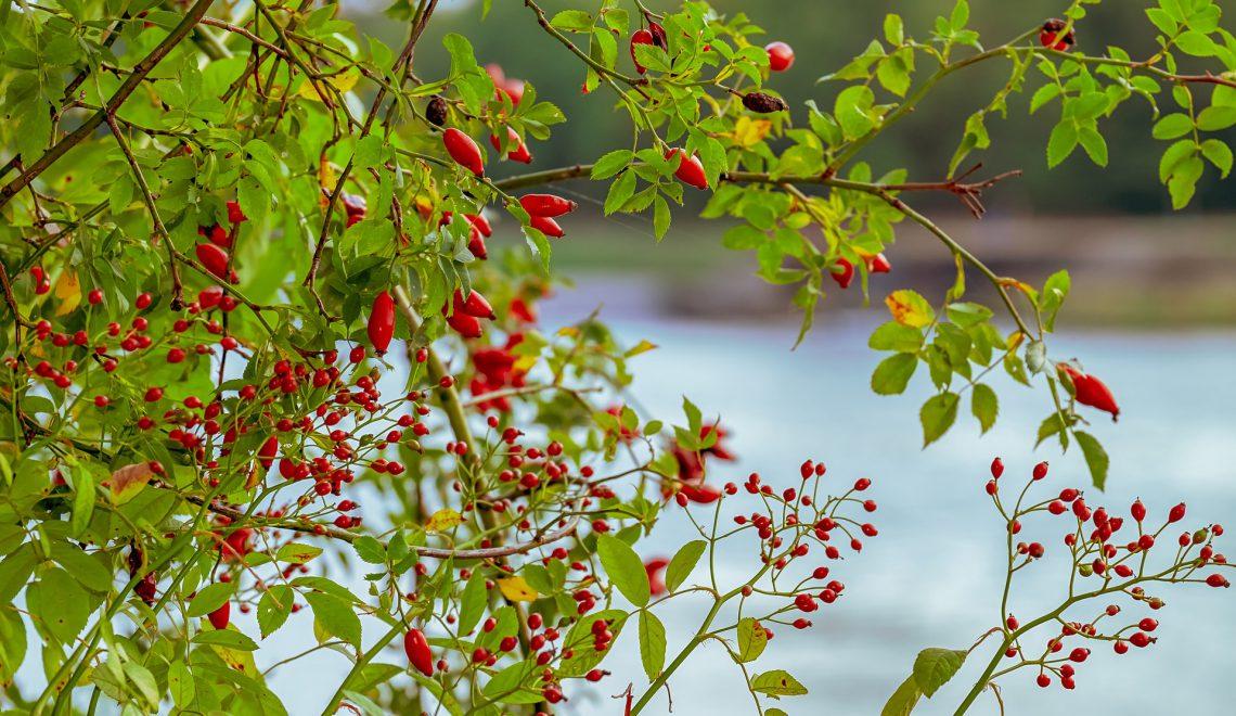 Hagebutten Rosa Garten Ausläufer Früchte Wildobst Vögel Insekten Stacheln Pflanzen Hecke