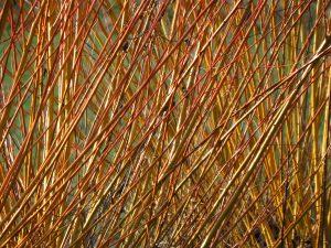 Baum Strauch Garten Rinde Borke bunt farbig Herbst Winter rot gelb