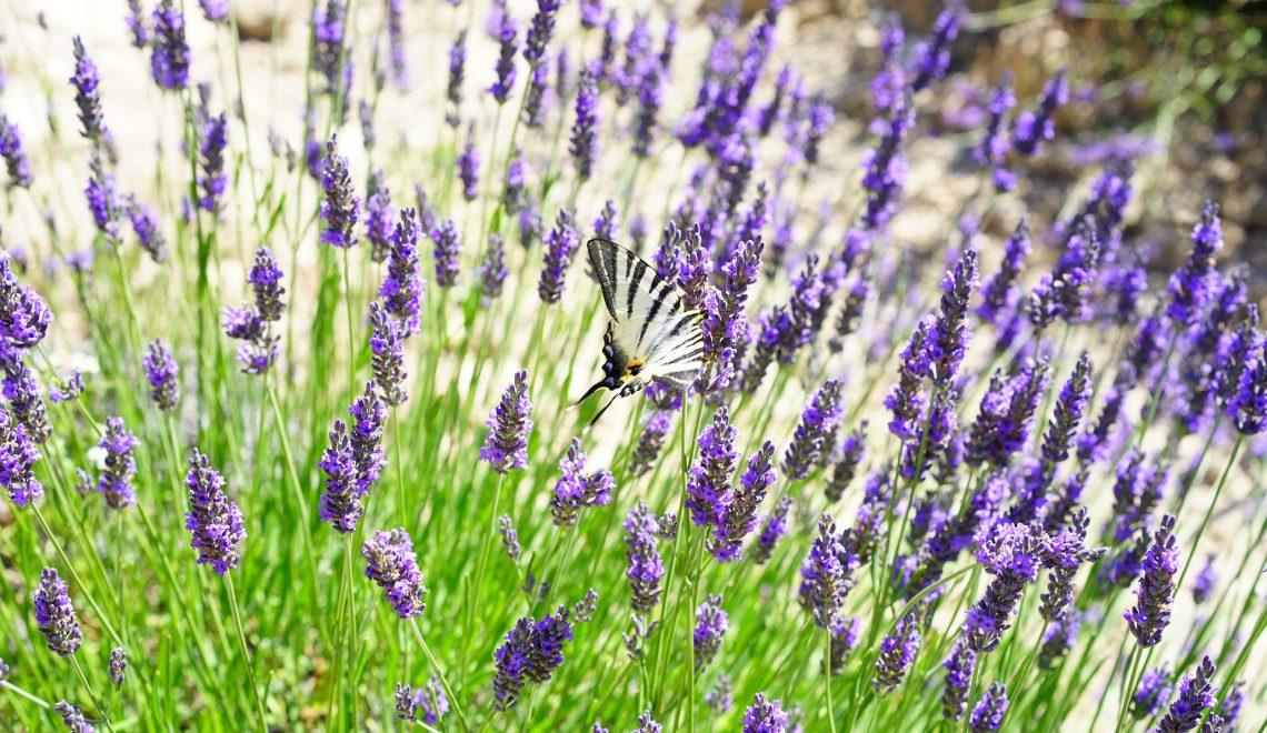 Lavandula angustifolia Garten Heilpflanze violett lila Schmetterlinge Bienen Hummeln trocken heiß sonnig Motten Duft Küchenkräuter