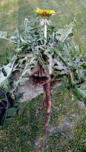 Heilpflanze Wurzeln Blätter Entgiftung Detox Taraxacum Tee Salat Pesto Leber Galle Verdauungsbeschwerden Blähungen reinigen