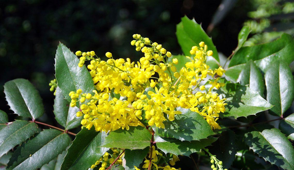 Mahonia aquifolium Berberis Strauch Gehölz immergrün Garten Blüten Beeren Hecke