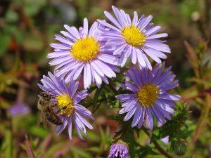 Aster amellus Staude Pflanze Garten trocken Blumenbeet Blüten
