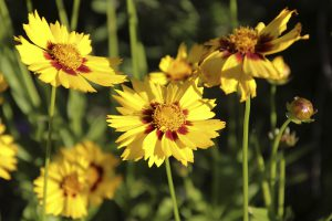 Coreopsis Staude Pflanze Garten trocken Blumenbeet Blüten
