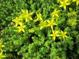Sedum acre Staude Pflanze Garten trocken Blumenbeet Blüten