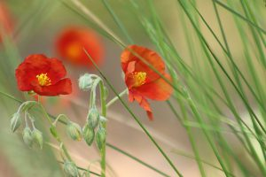 Helianthemum Staude Pflanze Garten trocken Blumenbeet Blüten