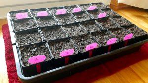 Paradeiser Aussaat aussäen vorziehen Wohnung Fensterbrett anbauen Eisheilige Pflanzen Gemüsegarten