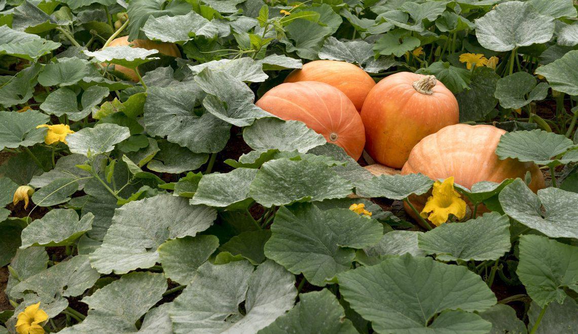 Kürbis Garten Gemüsebeet Bodendecker Unkraut selber anbauen auspflanzen Komposthaufen Starkzehrer Mischkultur Fruchtfolge