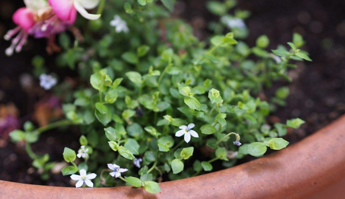 Blauer Bubikopf: Bodendecker unter Kübelpflanzen