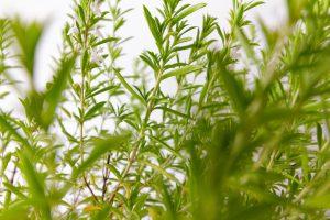 Küchenkräuter winterhart Staude Gemüsebeet Würzpflanze Insekten