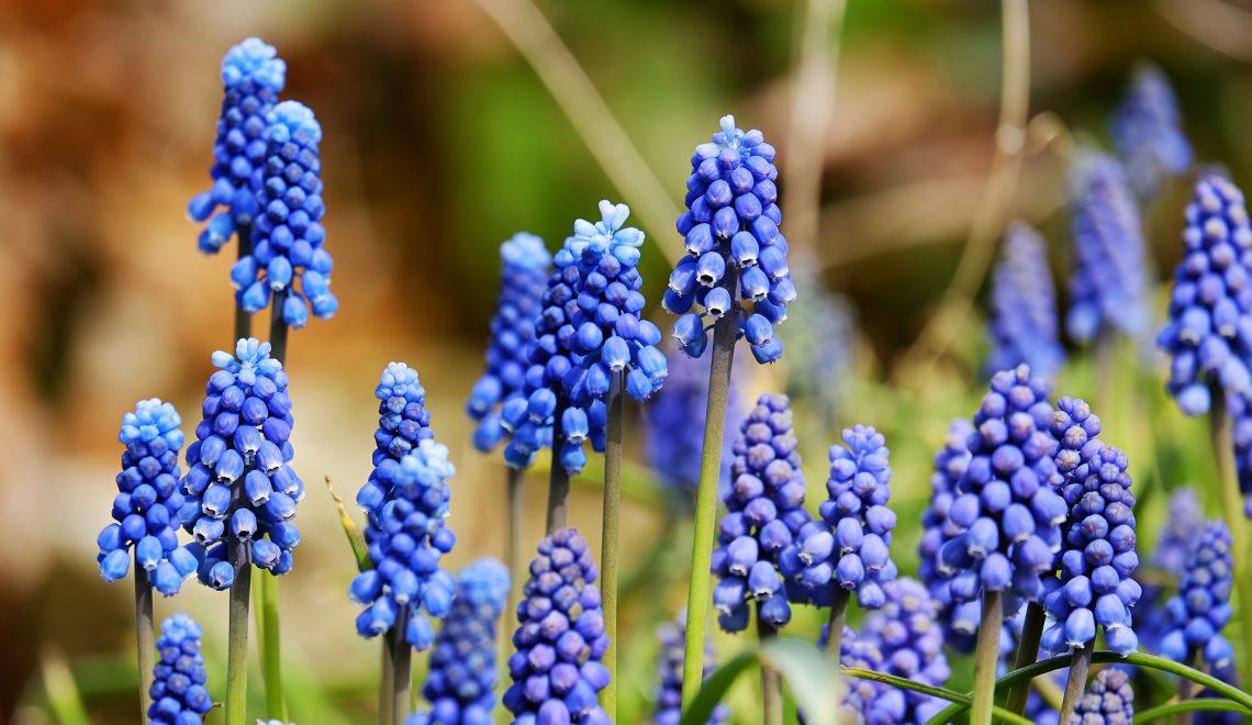 Blumenzwiebeln, die von Wühlmäusen verschont bleiben