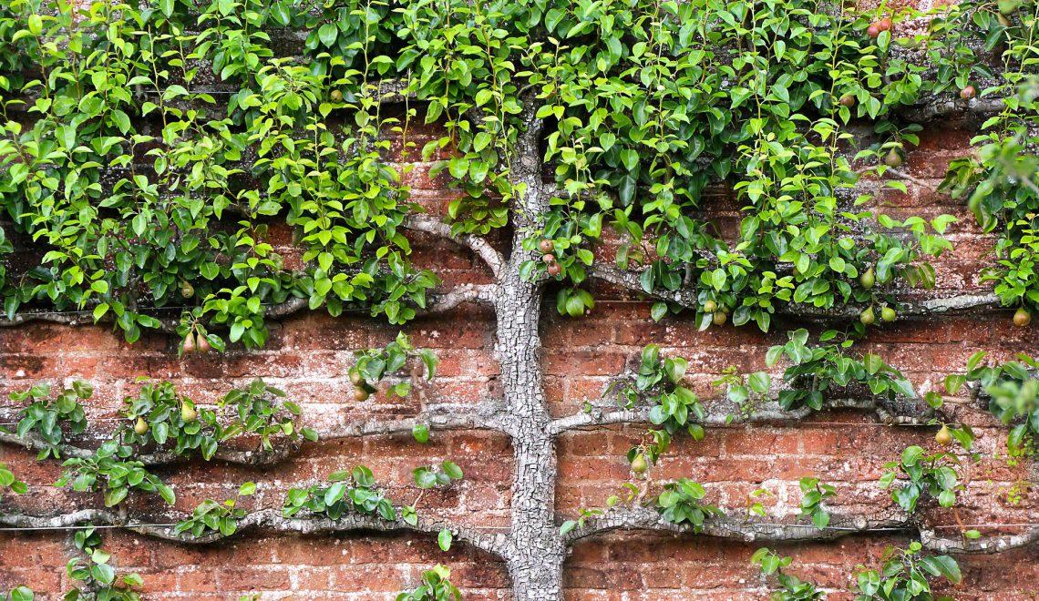 Obstbäume als Spalier erziehen