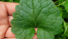 Gundermann Glechoma hederacea Heilpflanze Gewürz Minze Garten Unkraut Beikraut Rasen Tee Salbe Natur Rezept