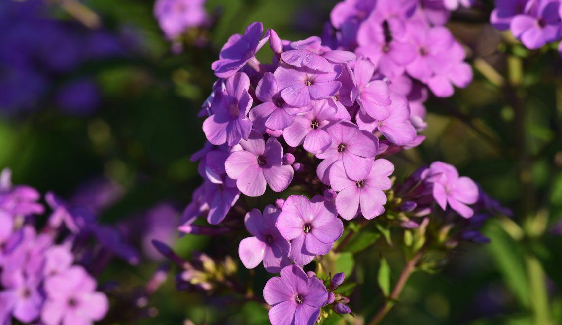 5 Blütenstauden, die von Schnecken verschont bleiben